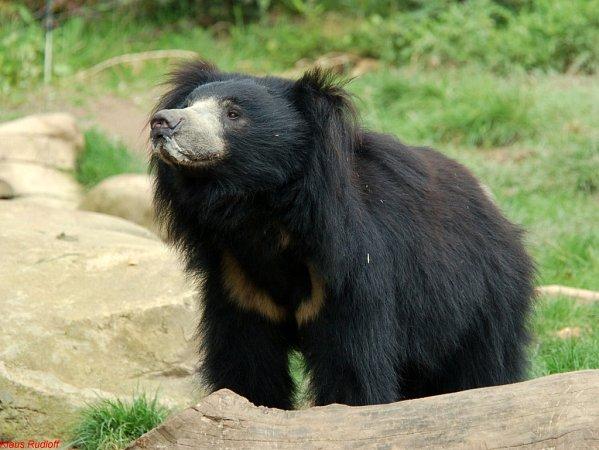 Medvěd pyskatý zIndie vzoo Lešná.