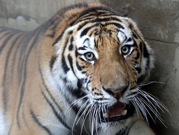 Stěhování tygra usurijského v Zoo Lešná.