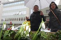 Kvetoucí sněženky na Ulici Zarámí ve Zlíně.
