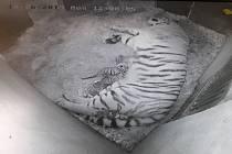 Dnes 10.6. krátce po půlnoci porodila čtrnáctiletá tygřice Tanja 3 mláďata v Zoo Zlín.
