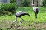 Mimořádný chovatelský úspěch se podařil pracovníkům zlínské zoo. Na světě jsou čtyři mláďata vzácného jeřába.