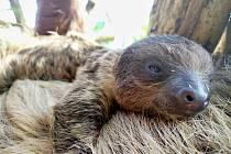 Mládě lenochoda dvouprstého, které se narodilo v polovině února v Zoo Zlín.