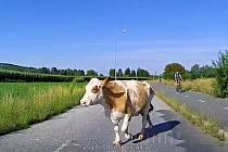 Ve Zlíně Malenovicích se po silnici pohybovala kráva.