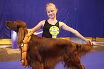 """Hafan sympaťák. Bernard """"Bertík"""" Lord Everdene, sedmiletý irský setr se stal vítězem kategorie Pes sympatie a vyhrál také 3. místo v kategorii Nejlepší pes."""