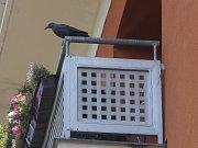 Holubi na ulici Podlesí IV na Jižních svazích ve Zlíně. Na snímku umělý havran na strašení holubů.