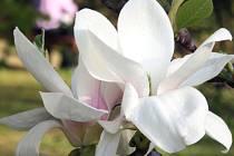 Kvetoucí krása. Šácholany neboli magnolie právě kvetou ve zlínském parku.