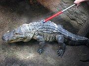 Stěhování aligátora amerického do tropické haly v ZOO Lešná.