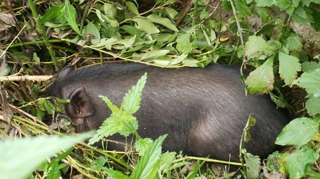 Strážníci čínského čuníka zahnali do zahrady a tam jej odchytili. Zvíře nakonec skončilo v útulku.