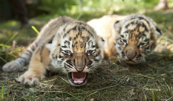 Zlínská zoo ukazuje tygřata