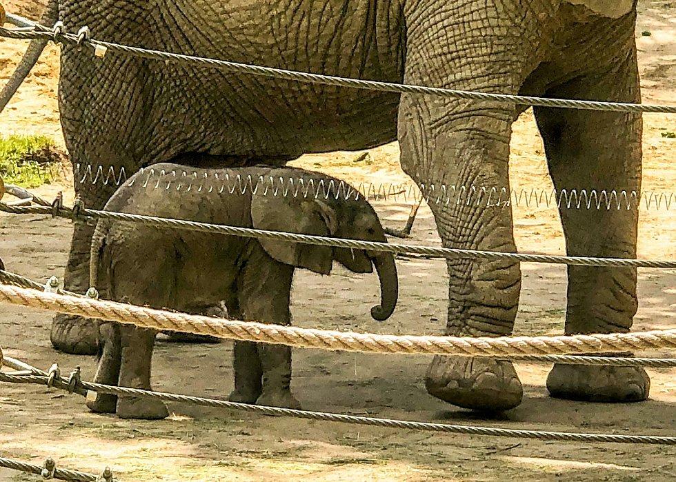 První mládě slona afrického v Česku se narodilo v neděli 6. června o půl osmé ráno v Zoo Zlín.