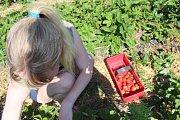 Samosběr jahod