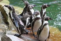 Křest mláďat tučňáku v ZOO Lešná ve Zlíně.