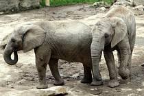 Sloni.