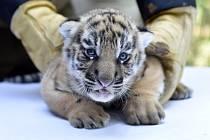 Ošetřovatelé ve zlínské zoo 4. července 2019 kontrolovali, vážili a čipovali mláďata tygrů ussurijských, která se narodila v červnu.