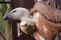 Ze zlínské zoo včera ráno do volné přírody zamířili další tři supi bělohlaví, 2 samičky a jeden samec.
