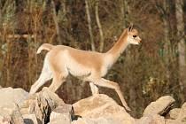 Lama vikuňa ve zlínské ZOO Lešná