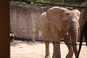 Již za dva měsíce má přijít na svět v Zoo Zlín mládě slona afrického. Ve sloninci však nedochází k žádným výrazným změnám. Zola , Kali i Ulu, musí trénovat každý den. (Zola).