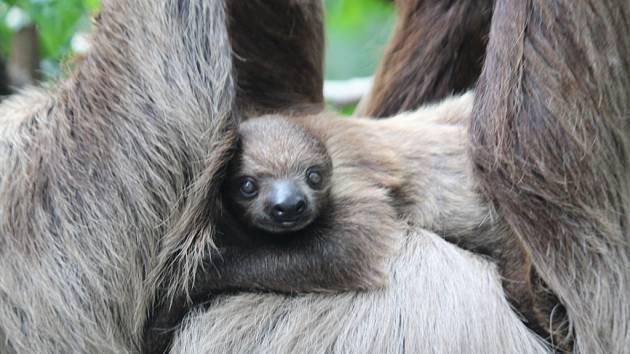 V Zoo Zlín pokřtilli mládě lenochoda.