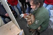 Stěhování supa bělohlavého, čeká ho cesta do volné přírody v bulharských horách. Ilustrační foto