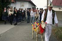 V Jasenné na Zlínsku se hody neobejdou bez vodění berana po vsi. Obnovenou tradici udržuje každoročně Valašský soubor Portáš.