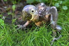 Vzácný Ara se vylíhl ve Zoo Zlín.