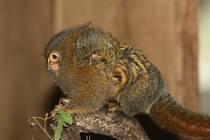 Kosman zakrslý, nejmenší opička na světě