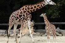 Zdravá silná krásná žena, to znamená jméno Ashanti, které vybrali návštěvníci zoo pro měsíční mládě žirafy Rothschildovy.