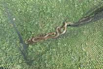 Namísto zmije našli hasiči v hromadě šrotu dvě užovky.