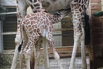 Čerstvě narozený sameček žirafy