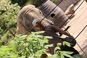 Již za dva měsíce má přijít na svět v Zoo Zlín mládě slona afrického. Ve sloninci však nedochází k žádným výrazným změnám. Zola , Kali i Ulu, musí trénovat každý den. (Ulu).