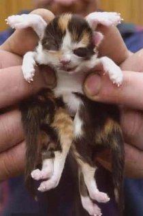 Kotě, které se narodilo s osmi nohama