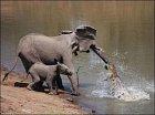Souboj slonice a krokodýla