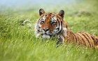 I tygři mohou být domácími mazlíčky.