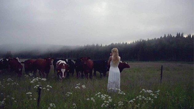 videa z krávy