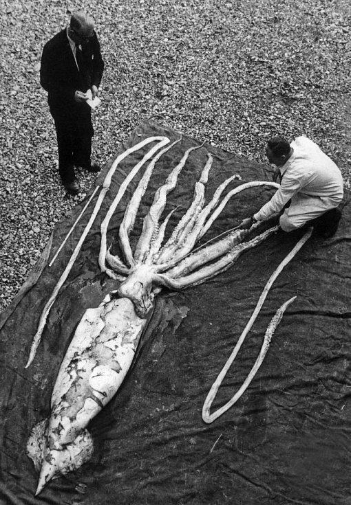 V roce 1928 vyplavilo moře v Norsku mrtvou krakatici. Byla velká, ale existují ještě mnohem větší.