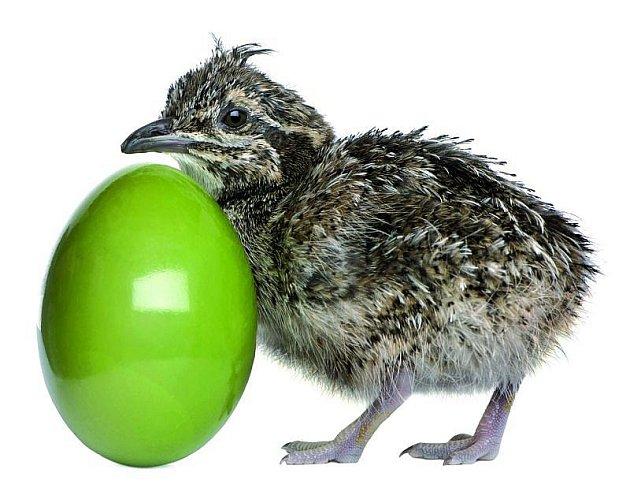 Zkrásně zelených vajíček se líhnou tinamy argentinské.