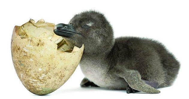 Tvar předních křídel ho prozrazuje. Ano, je to tučňák, konkrétně tučňák africký.