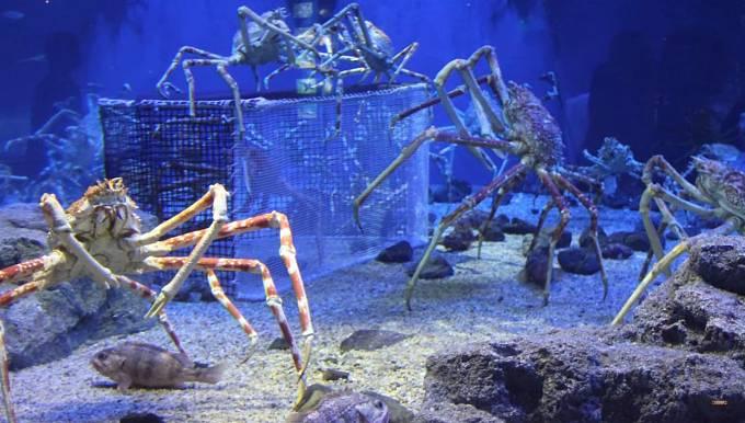 Krab pavoučí je druh kraba, který má dlouhé nohy a může dorůst až do velikosti dospělého člověka. Rozpětí jeho nohou je dokonce až 3 metry.