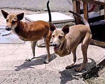 Klokan psí. Dobře, tohle není až tak úplně mutace. Jedná se o dva psy, kteří přišli o přední nohy a naučili se pohybovat, po vzoru klokanů, jen po zadních.