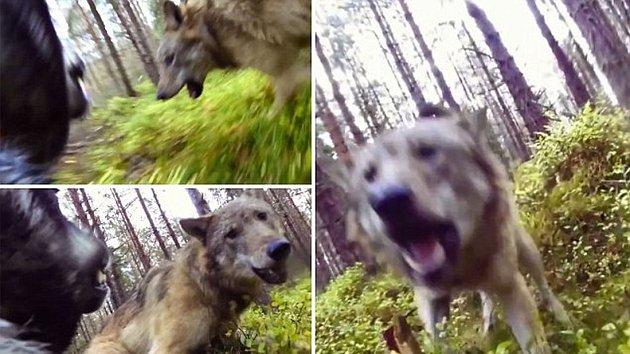 SOUBOJ na život a na smrt! Vlci zaútočili na psa c4488b5645
