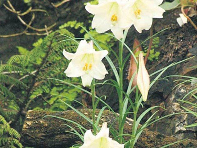 Unikátní lilie