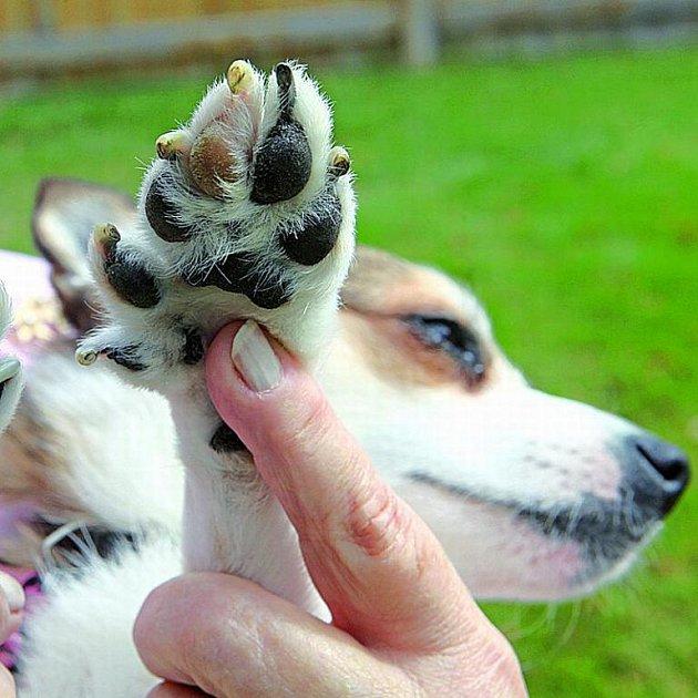Šestiprstý pes