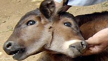 Osel s dvěma hlavami