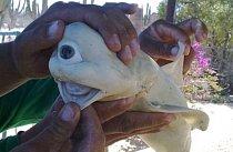Jednooký žralok, který navíc nemá zuby. Jeho šance na přežití byla opravdu mizivá. Bez šance bránit se útočníkům a s omezenou možností lovu potravy byl odsouzen k uhynutí. Naštěstí ho chytli rybáři, kteří se o něj postarali.