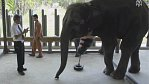 Handicapovaný slon byl z nové nohy nevýslovně šťastný.