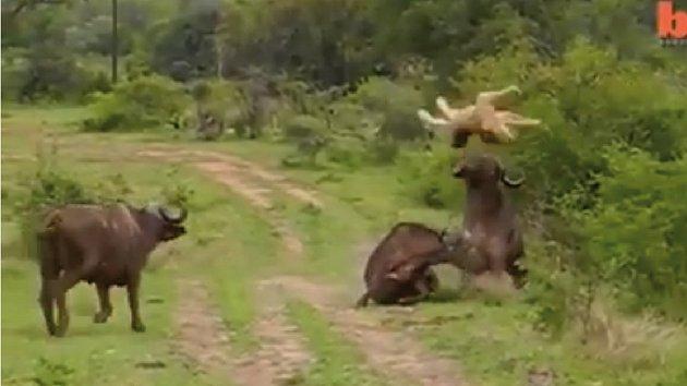 Odvážný buvol ukázal, že i lvice mohou létat.