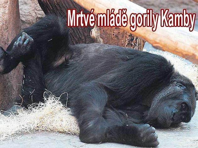 Po návratu do společného výběhu Kamba hned odpočívala. Náročný porod ji velmi vyčerpal a podle Marka Ždánského může být po ztrátě mláděte posmutnělá.