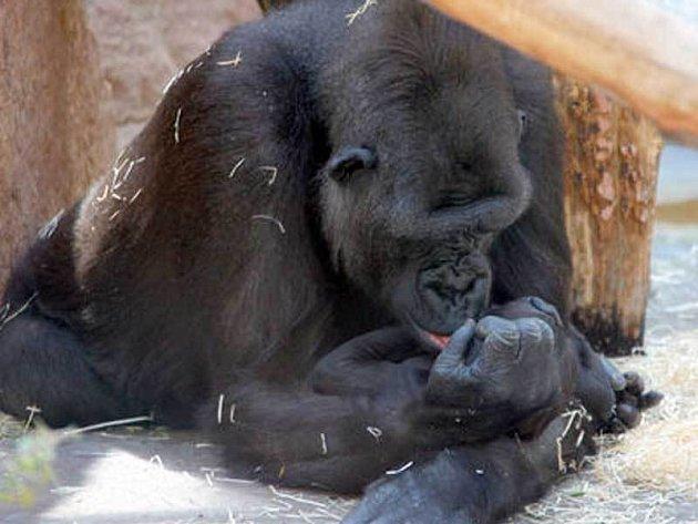 Gorila Kijivu se svým mládětem Tatu
