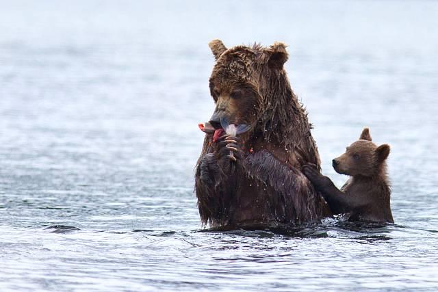 Narazit na Kamčatce na medvěda není žádný problém.
