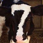Tato kráva dává SEDM!